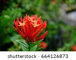 A Clump Of Red Santan Flowers...