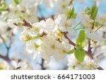flowers of the cherry  apple ... | Shutterstock . vector #664171003