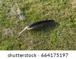 Big Black Wing Feather Lost By...