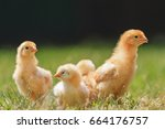 fast growing chickens in warm... | Shutterstock . vector #664176757