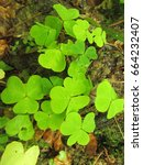 Small photo of wood sorrel, Oxalis acetosella