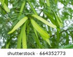 Small photo of Image of green seeds of acacia farnesiana tree growing in nature environment for food background