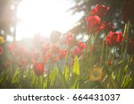 beautiful tulip flower and... | Shutterstock . vector #664431037