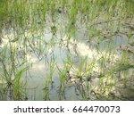 rice fields in rainy season   Shutterstock . vector #664470073