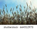 ripe wheat in the field under... | Shutterstock . vector #664512973