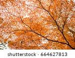 beautiful orange mepla leaf...   Shutterstock . vector #664627813