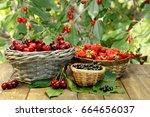 summer gifts  sweet cherry ...   Shutterstock . vector #664656037
