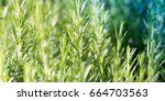 rosemary plant  agriculture and ... | Shutterstock . vector #664703563