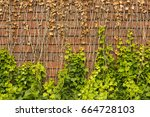 ivy on brick wall background | Shutterstock . vector #664728103