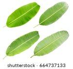 fresh green banana leaf... | Shutterstock . vector #664737133