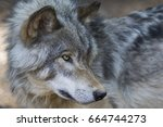 wolf portrait    Shutterstock . vector #664744273