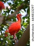 scarlet ibis   Shutterstock . vector #664813297