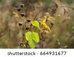 Small photo of Abutilon theophrasti and Abutilon theophrasti Seeds