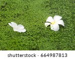 White Plumeria Flowers The Fal...