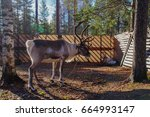 Reindeer In The Sunlight At Th...