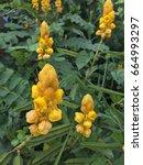 "Small photo of Yellow ""African Senna"" flower or Popcorn Senna, Peanut Butter Cassia, Senna Didymobotrya."