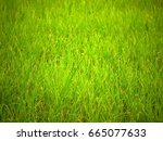 rice fields in rainy season   Shutterstock . vector #665077633