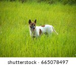 the dog in rice field   Shutterstock . vector #665078497