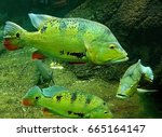 Small photo of Peacock bass is a group of closely related species of tropical, freshwater fish of the genus Cichla, Family Cichlidae, It's introduction in the Rosana Reservoir , Brazil.