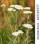 Small photo of Yarrow plant, Achillea millefolium