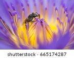closeup bee looking for honey...   Shutterstock . vector #665174287