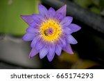 closeup bee looking for honey...   Shutterstock . vector #665174293