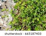 Small photo of Alchemilla alpina, the silver herb