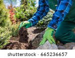 gardener planting new tree in a ... | Shutterstock . vector #665236657