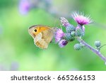 Meadow Brown On Thistle Flowers