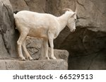 Mountain Goat - stock photo