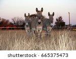 Three Donkeys Late Afternoon.
