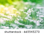 small white flowers in a field... | Shutterstock . vector #665545273