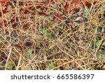 thorn bush background | Shutterstock . vector #665586397
