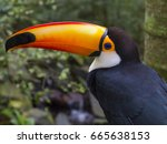 toucan detail in a brazilian... | Shutterstock . vector #665638153