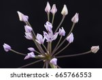Small photo of Closeup detail of Allium praecox wild onion flower cluster on black background
