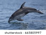 A Pacific White Sided Dolphin...