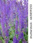 lavender flowers | Shutterstock . vector #665859253