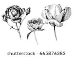 rose  tulip and peony hand... | Shutterstock .eps vector #665876383