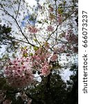Sakura Or Cherry Blossom Flowe...