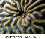 Small photo of Spotjaw blenny fish, Acanthemblemaria rivasi, hidden in a coral hole, Caribbean sea, Bocas del Toro, Panama