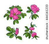 dog rose drawing flowers  hand... | Shutterstock .eps vector #666161233