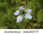"""Small photo of """"Love-in-a-mist"""" flower (or Ragged Lady, Devil in the Bush, Gretchen im Busch ) in St. Gallen, Switzerland. Its Latin name is Nigella Damascena, native to Southern Europe, Northern Africa."""