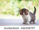 Stock photo scottish fold beautiful kitten on timber over blur green forest background 666338797