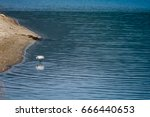 Snowy Egret Hunting For Food I...