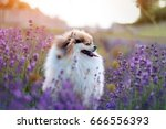 Little Fluffy Pomeranian Dog I...