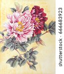 two peonies pink and red... | Shutterstock . vector #666683923