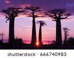 avenue of baobabs   magenta and ... | Shutterstock . vector #666740983