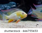 Small photo of Albino Threadfin Acara (Acarichthys heckelii)