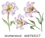 Stock photo watercolor set of white lilies hand drawn illustration of flowers isolated on white background 666763117