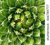 agave victoria reginae cactus.   Shutterstock . vector #666784777